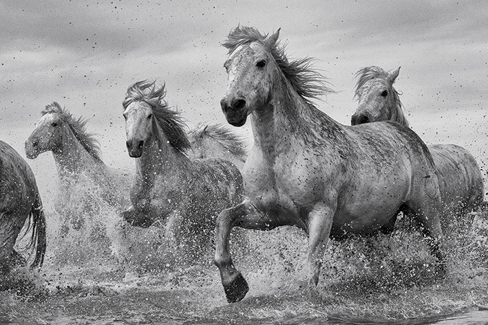 Poster, Quadro Cavalli - Camargue Horses su EuroPosters.it