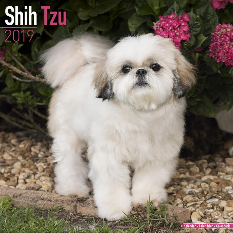 Coloriage Chien Shih Tzu A Imprimer.Shih Tzu Calendrier 2019 Acheter Le Sur Europosters Fr