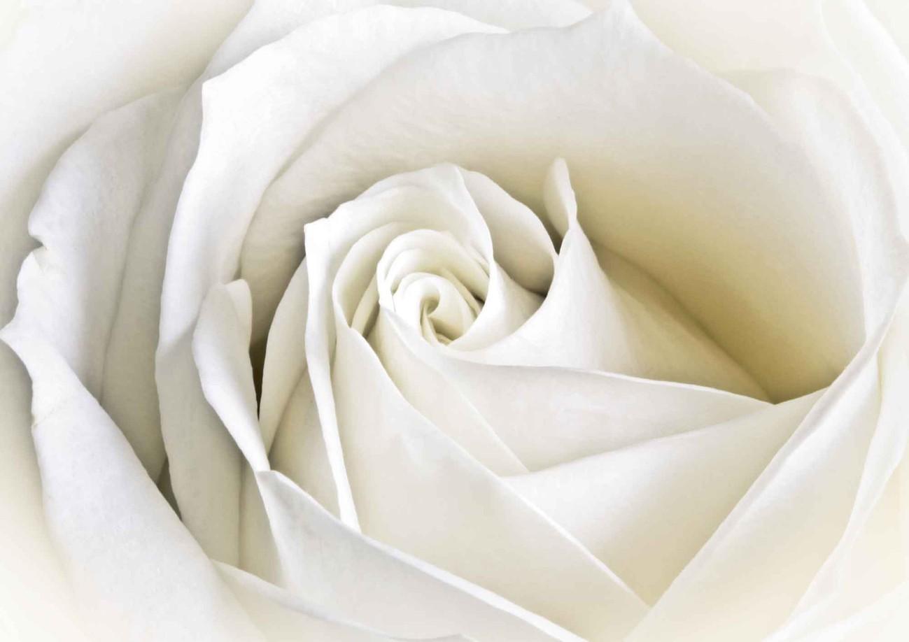 Carta Da Parati Rosa Bianca : Carta da parati fiori rosa bianca natura europosters.it