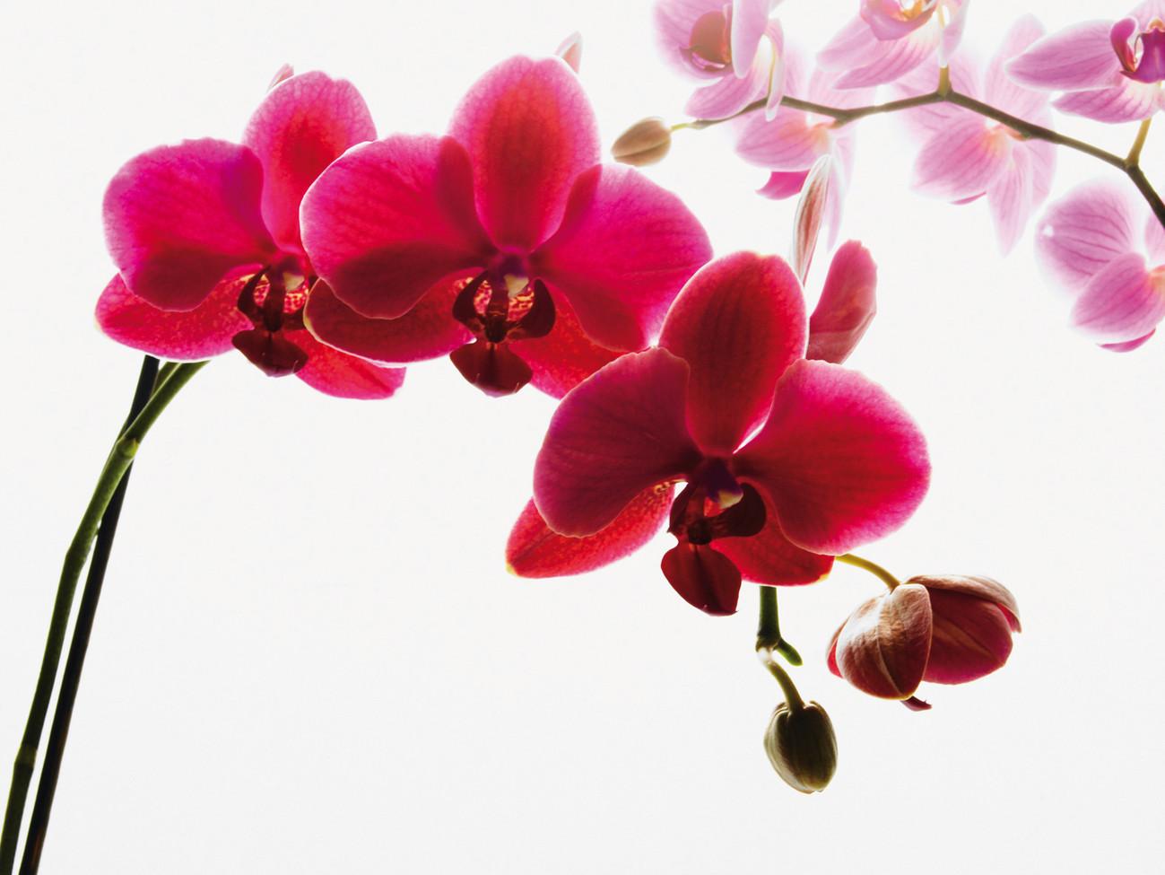 Carta da parati orchidea blossoms for Orchidea prezzo