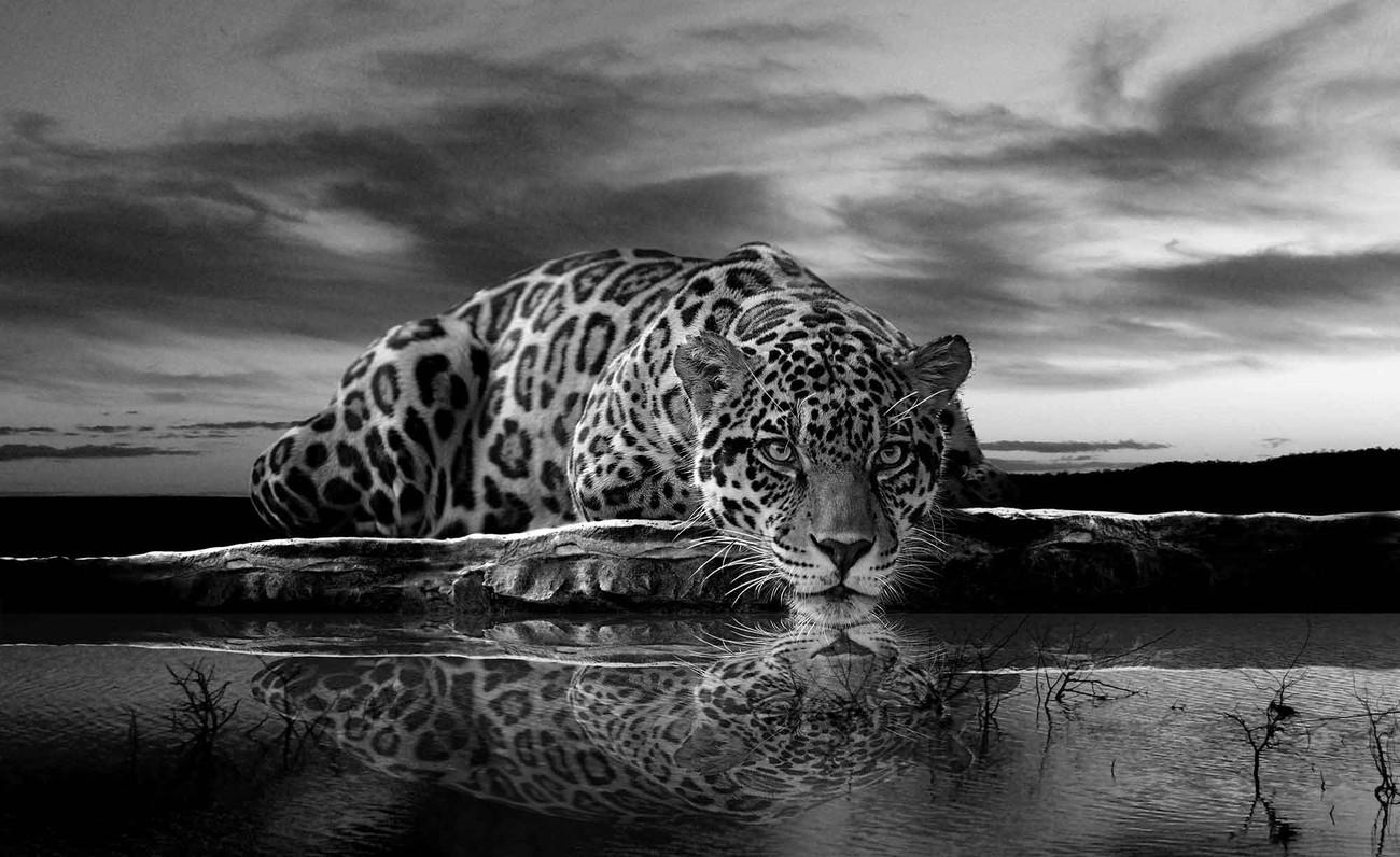 Fotomurale Leopard Feline Reflection Negro, Papel pintado ...