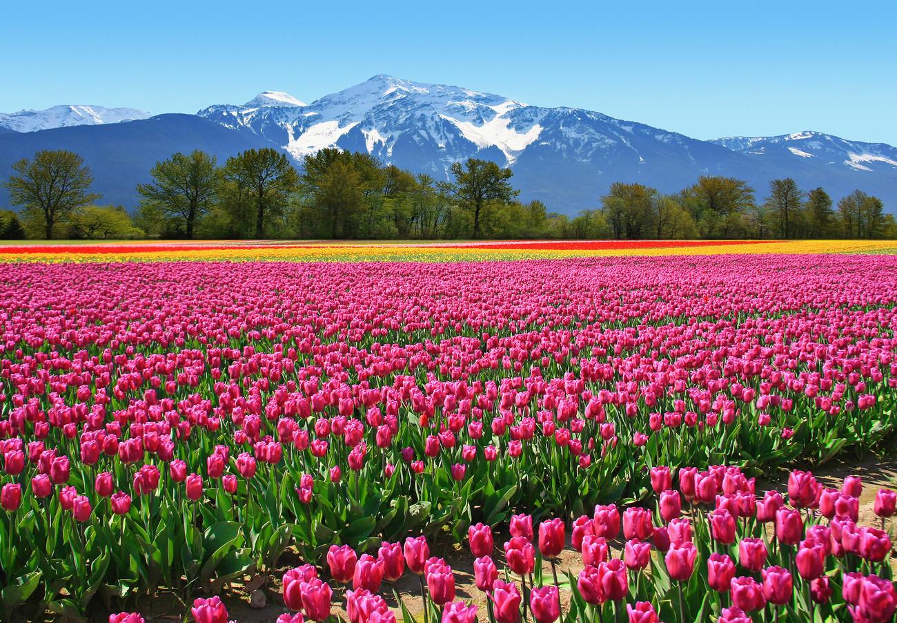 fototapete tapete tulips bei europosters kostenloser versand. Black Bedroom Furniture Sets. Home Design Ideas