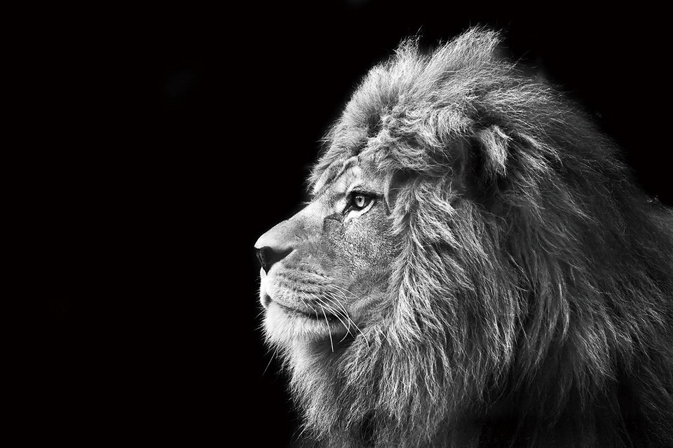 Lion Black And White Glasschilderij Op Europostersnl