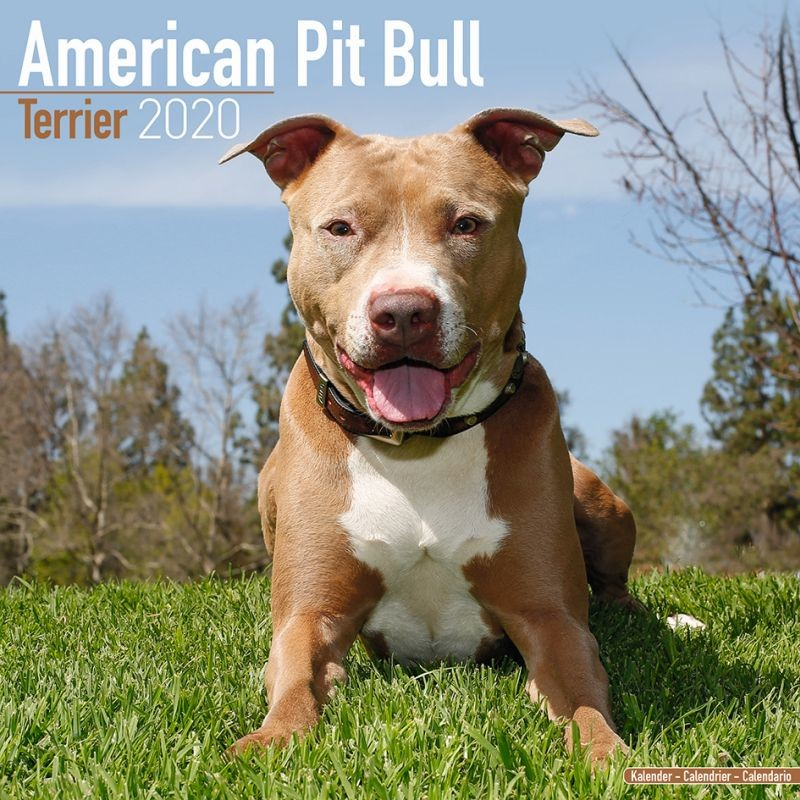 American Pit Bull Terrier naptár 2020