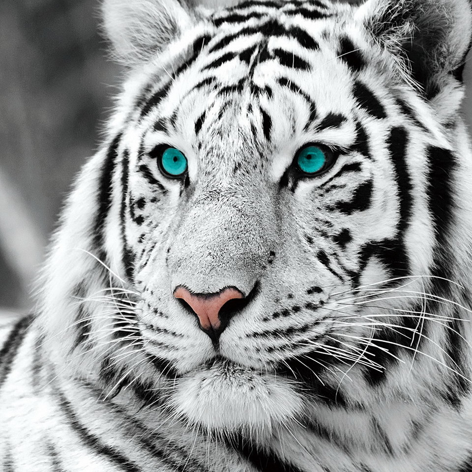 angry white tiger blue eyes - photo #11