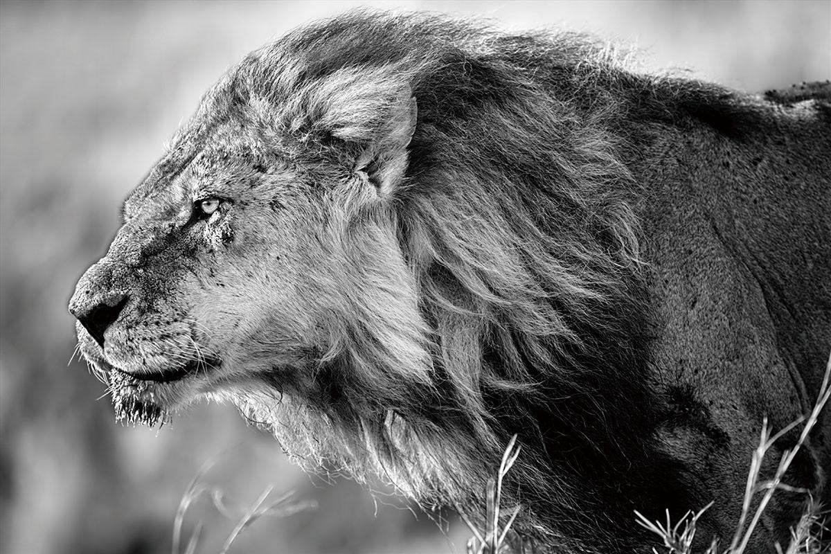tablouri pe sticla lion black and white lion cumpӑrӑ online la