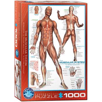 пъзели The Muscular System