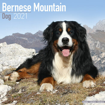 Календар 2021 Bernese Mountain Dog