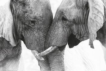 Плакат Elephant - Touch