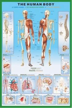 Плакат The human body
