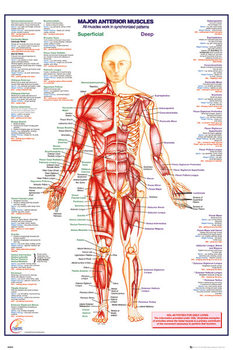 Human Body - Major Anterior Muscles Плакат