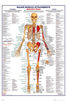 Human Body - Major Muscle Attachments Anterior Плакат