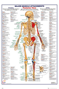 Human Body - Major Muscle Attachments Posterior Плакат