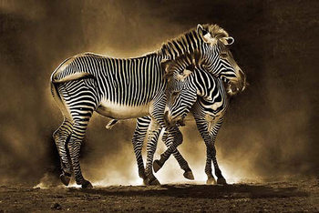 Zebra - Mother and Foal Плакат