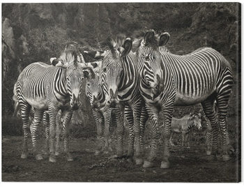 Платно Marina Cano - Zebras