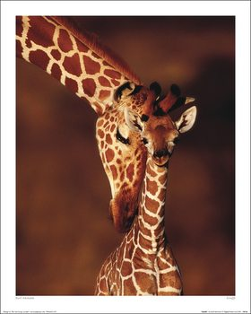 Karl Ammann - Giraffe Художествено Изкуство