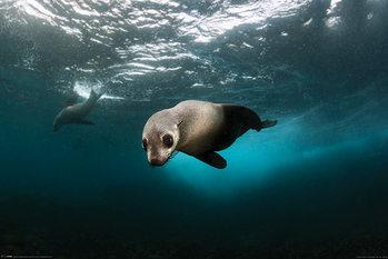 Australian Fur Seal - плакат