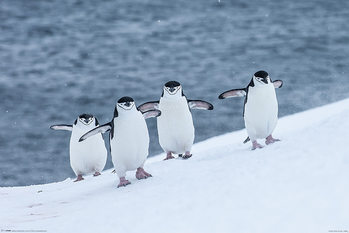 Chinstrap Penguins плакат