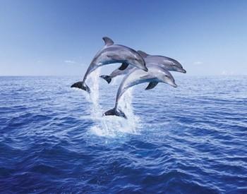 Dolphin trio - плакат