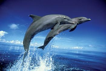 Dolphins - leap - плакат