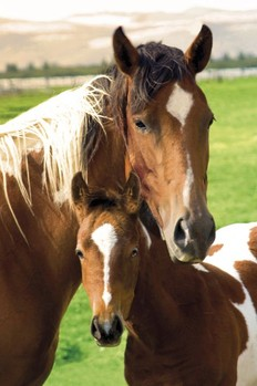 Horses - mare and foal плакат