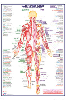 Human Body - Major Posterior Muscles плакат