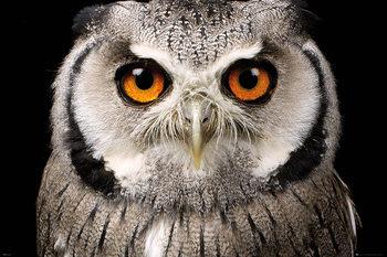 Owl - Face плакат