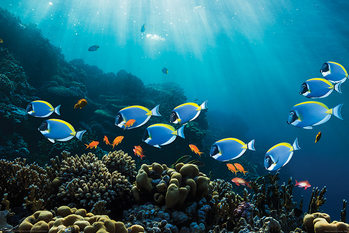 Surgeonfish & Goldies плакат