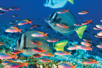 Yellow – Tailed Surgeonfish - плакат