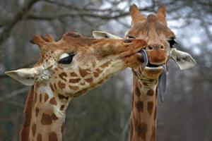 Giraffen Posters