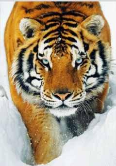 3D Плакат Tiger - snow 3D