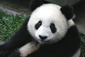 Pandy velké