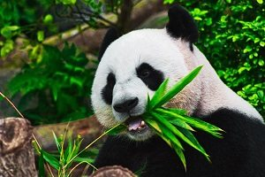 Pandaer