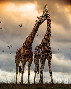 Girafes - Kissing Poster
