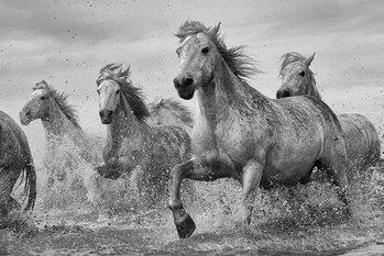 Les chevaux - Camargue Horses Poster