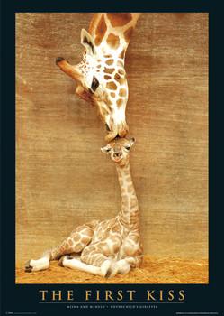 The first kiss - giraffes Poster