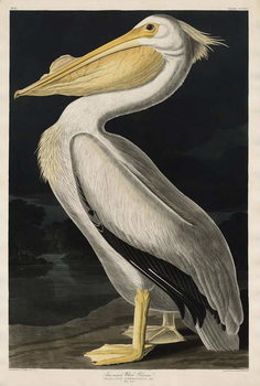 American White Pelican, 1836 Kunsttryk