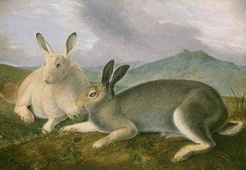 Arctic Hare, c.1841 Kunsttryk
