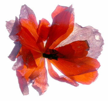 Begonia Round Obrazová reprodukcia