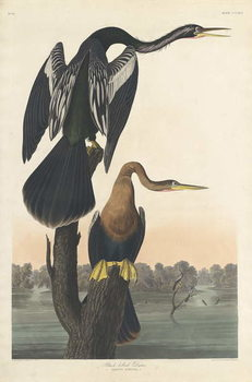 Black-bellied Darter, 1836 Kunstdruk