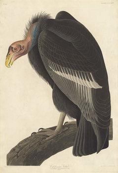 Reproducción de arte Californian Vulture, 1838