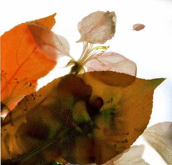 Reproducción de arte Crabapple Rose I, 2014,