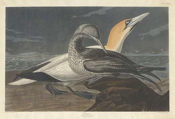 Reproducción de arte Gannet, 1836