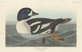 Golden-eye Duck, 1836 Kunstdruk
