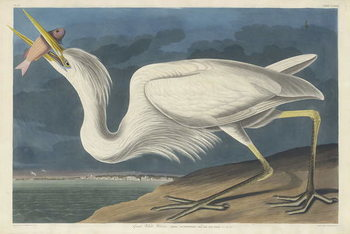 Great White Heron, 1835 Kunstdruk