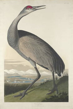 Reproducción de arte Hooping Crane, 1835