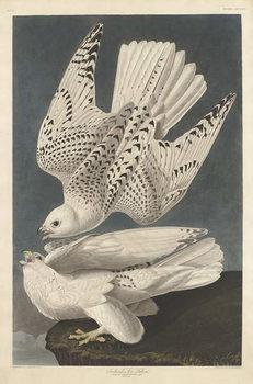 Reproducción de arte Iceland or Jer Falcon, 1837