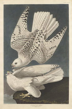 Iceland or Jer Falcon, 1837 Kunstdruck