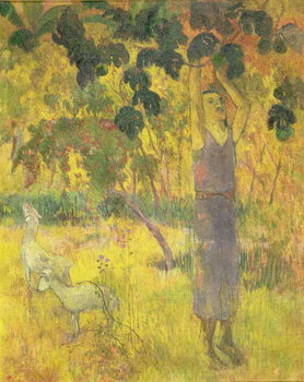 Man Picking Fruit from a Tree, 1897 Kunstdruck