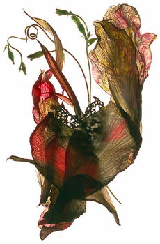 Morning Glory Canna Heart, 2012, Reproduction de Tableau